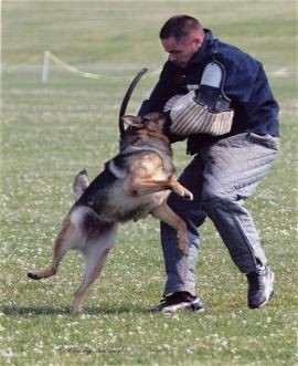 Photo Of Trained German Shepherd Attack Position - Pro Canine Center