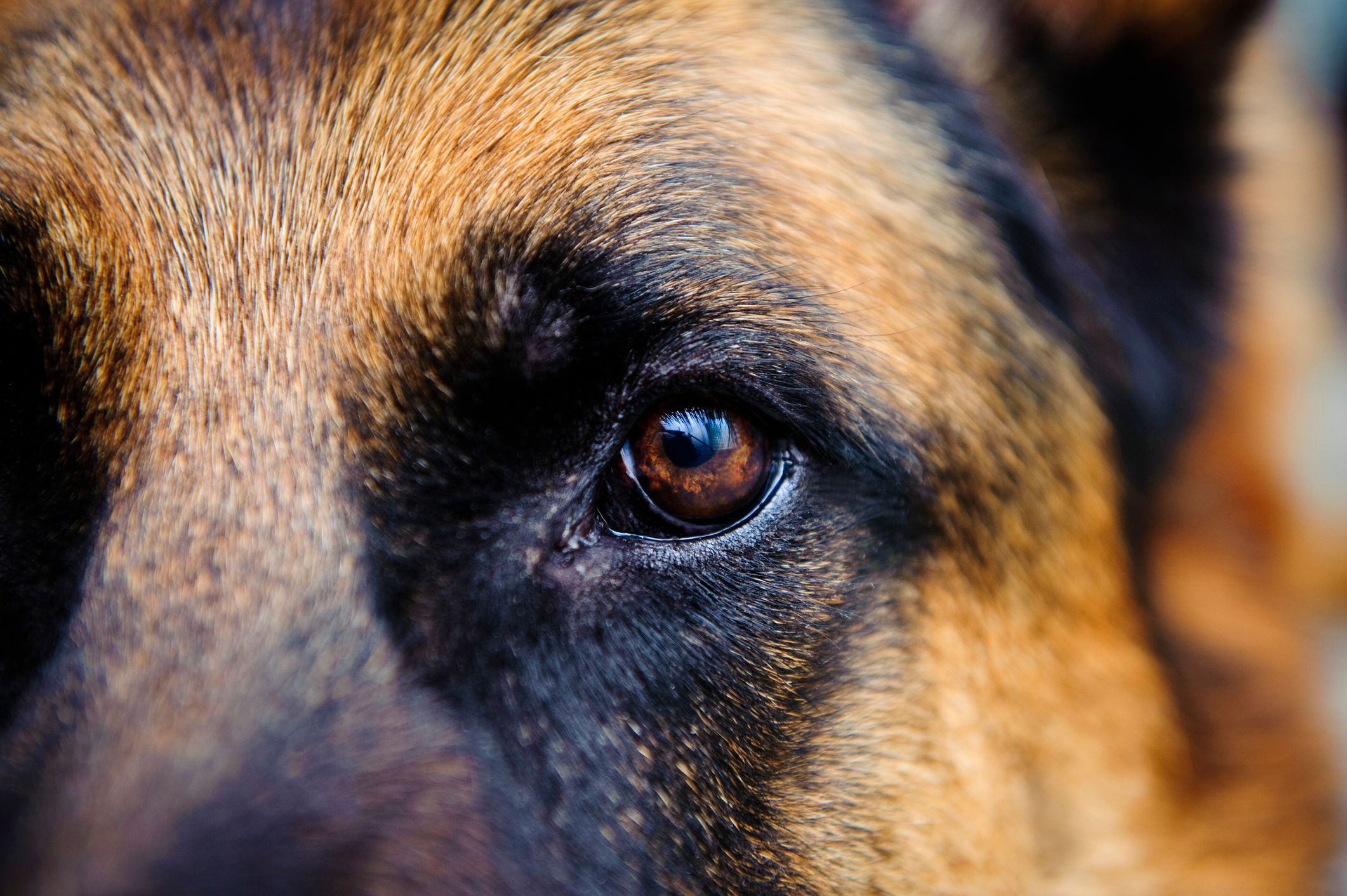 German Shepherd up close eye image