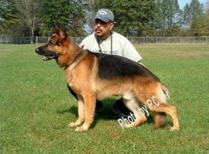dog-protection-training03