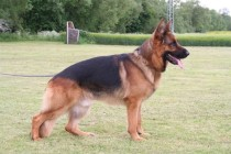 Stud German Shepard - Frenchtown, NJ - Pro Canine Center